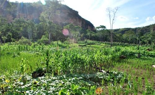roça plantação índios terras brasil MT