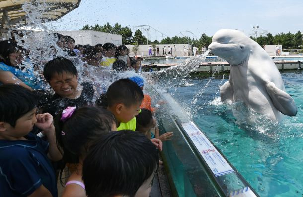 -- AFP PICTURES OF THE YEAR 2015 -- A beluga whale sprays water towards visitors during a summer attraction at the Hakkeijima Sea Paradise aquarium in Yokohama, suburban Tokyo on July 20, 2015. Tokyo's temperature climbed over 34 degree Celsius on July 20, one day after the end of the rainy season. AFP PHOTO / Toshifumi KITAMURA