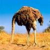 midia-avestruz