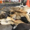 morte-cachorros-chile