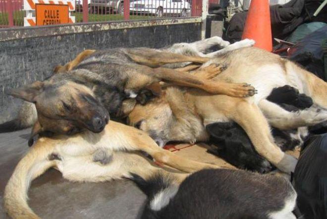 morte cachorros animais chile