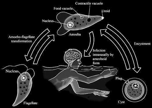 Ameba que 'come cérebros' faz primeira vítima na Argentina