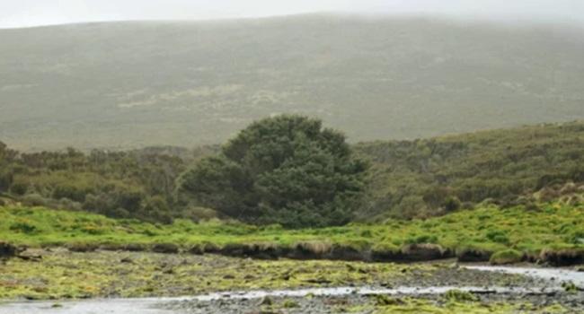 árvore mais solitária do mundo marco humanidade