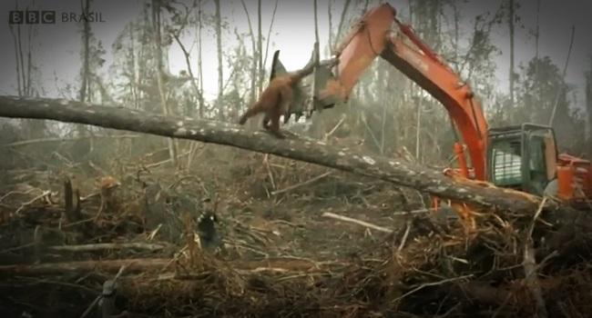 Macaco enfrenta escavadeira que destrói a floresta onde ele vive