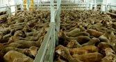 exportacao-de-animais-vivos-e-crueldade-e-pessimo-negocio-para-o-brasil