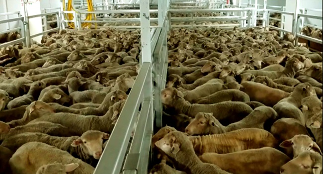 Exportação de animais vivos crueldade Brasil