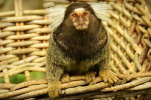 virus-zika-macacos-acende-sinal-de-alerta