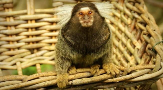Vírus Zika macacos sinal de alerta