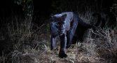 pantera-negra-e-fotografada-pela-1a-vez-depois-de-100-anos