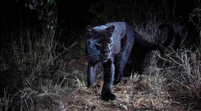 Pantera negra fotografada depois anos leopardo negro africano quênia