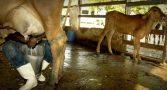 por-que-os-produtores-de-leite-ficaram-bravos-com-jair-bolsonaro