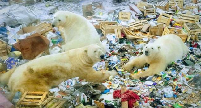 Ursos polares famintos invadem cidade na Rússia