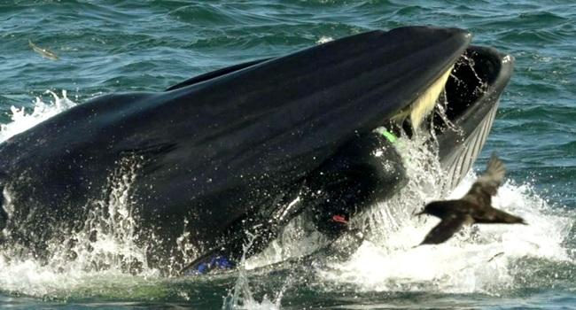 Homem sobrevive parcialmente engolido por baleia