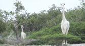 girafas-brancas