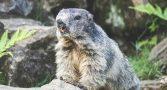 adolescente-morre-de-peste-bubonica-apos-comer-carne-de-marmota