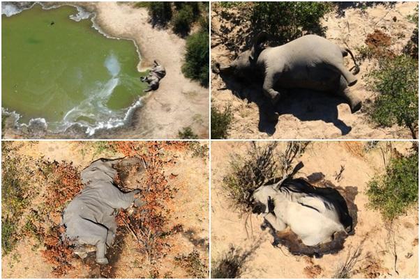 elefantes mortos botsuana