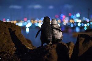 foto-premiada-pinguins
