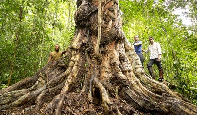 Pau-Brasil antigo Bahia Cabral chegou encontrado intacto