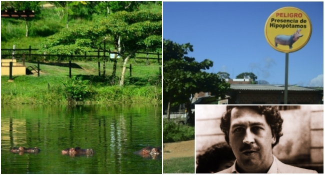 Hipopótamos da cocaína cientistas matar animais Pablo Escobar Colômbia