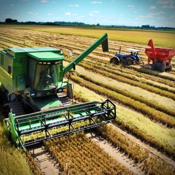 Agrotóxico arroz toxinas acima permitido saúde governo bolsonaro