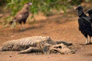incendios-mataram-milhoes-animais-pantanal-estudo