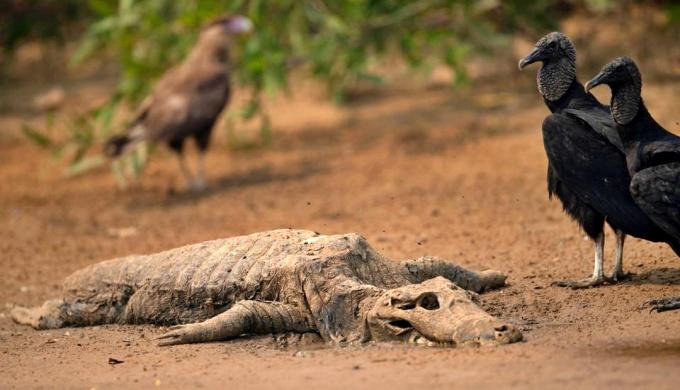 Incêndios mataram milhões animais Pantanal estudo
